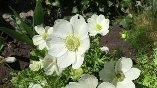 анемоны в моем саду