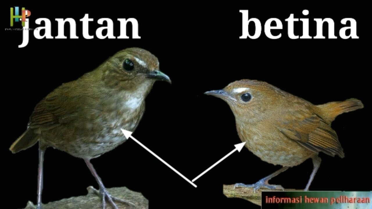 Cara Membedakan Burung Jongkangan Cingcoang Jantan Dan Betina Youtube