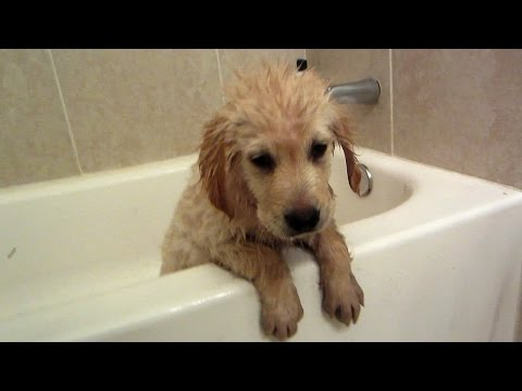 Golden Retriever Puppy's First Bath (Cooper - 11 Weeks Old)
