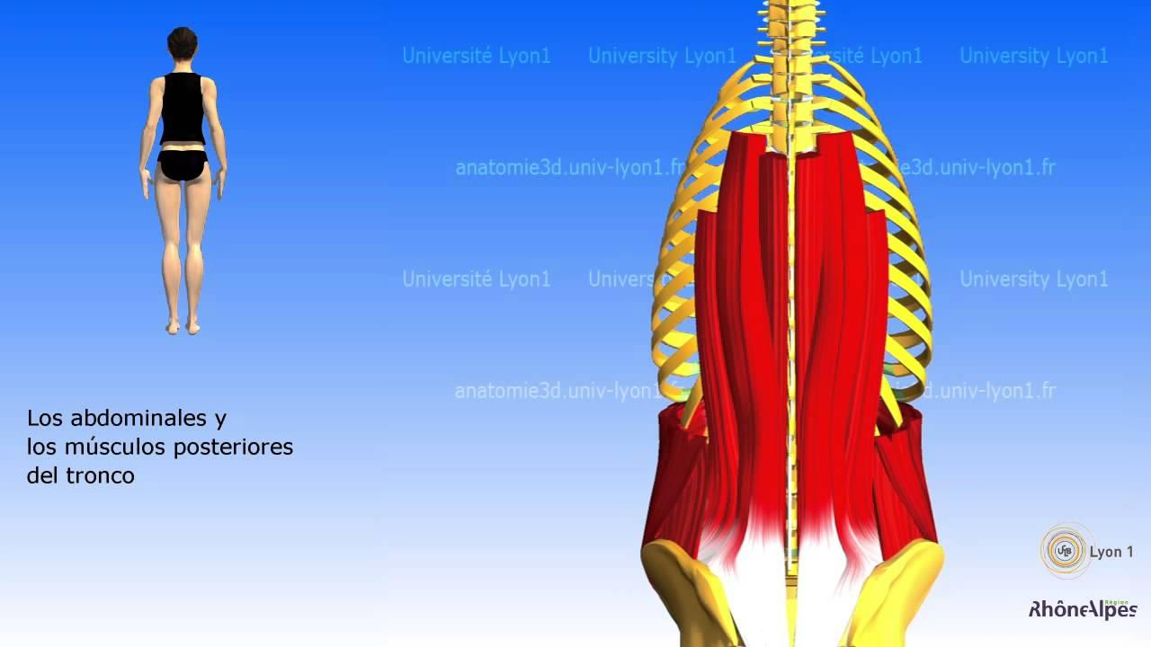 Los músculos posteriores del tronco sus funciones - YouTube