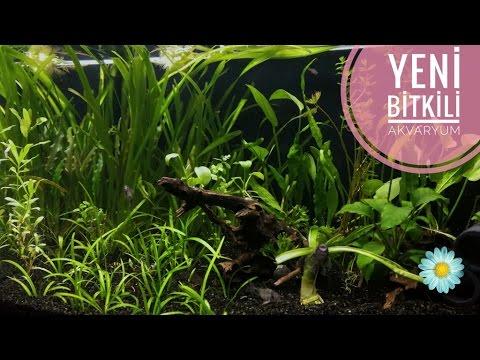 Yeni Bitkili (Low-tech) Akvaryum