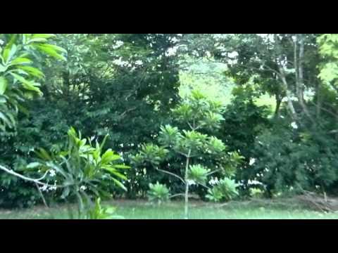Singapore wild jungle fowl
