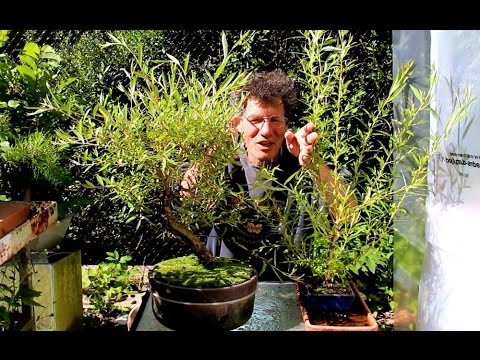 Weeping Willow Bonsai July 2015 Youtube