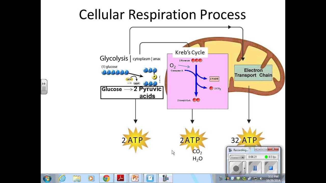 a science report on the process of cell respiration Cellular respiration cellular respiration is an oxidative process whereby an electron donor is oxidized and oxygen is reduced to produce carbon dioxide, water, and energy [3] from: systems biology in toxicology and environmental health, 2015.