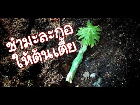 การปักชำมะละกอให้ต้นมะละกอเตี้ย