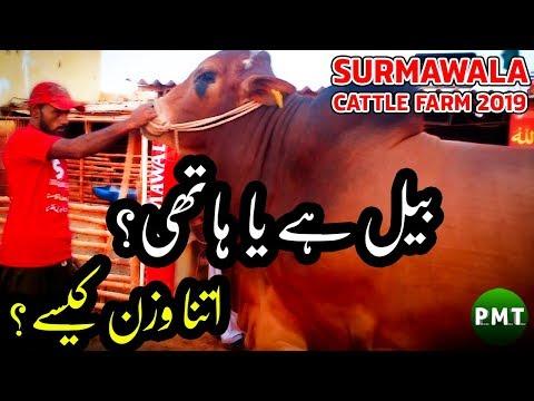 giant-beast-bulls-of-surmawala-cattle-farm-2019-for-qurbani-at-bakra-eid- -huge-heavy-weight-bulls