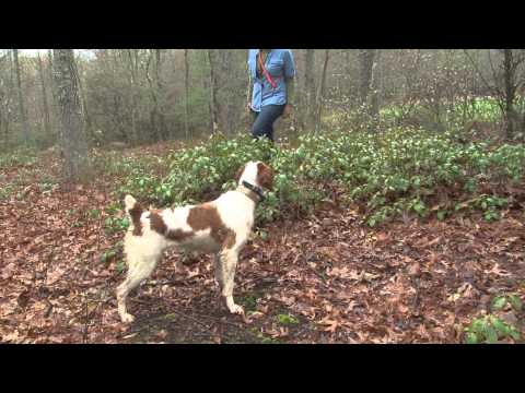 Bird Dogs Afield visits Sarah Conyngham and her Brittany spaniels