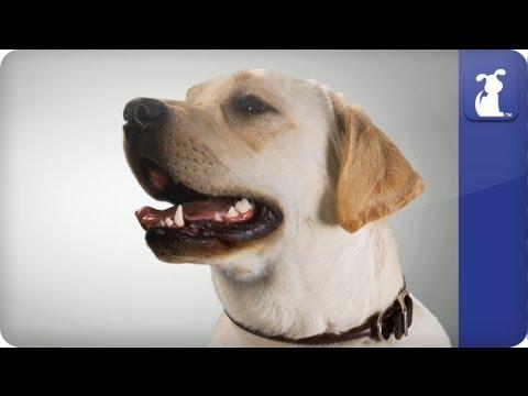 Doglopedia - Labrador Retriever