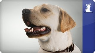 Doglopedia - Labrador Retriever