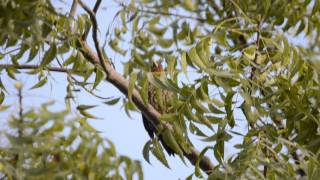 Amar-Banded Yellownape Woodpecker-Male Calling-2.wmv