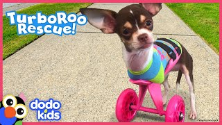Little Dog With No Front Legs Gets The Tiniest Set of Wheels | Animal Videos for Kids | Dodo Kids