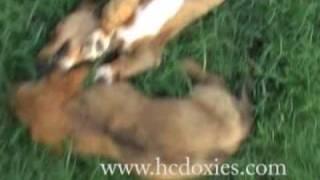 Dachsund Puppy - Red Piebald Longhair