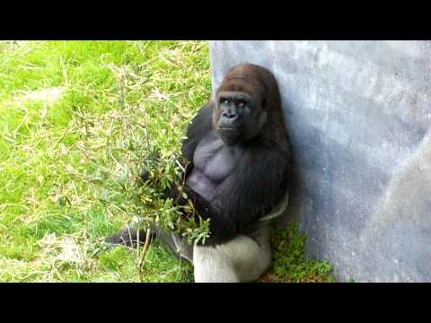 Quito the Silverback Gorilla at the Jacksonville Zoo in Florida