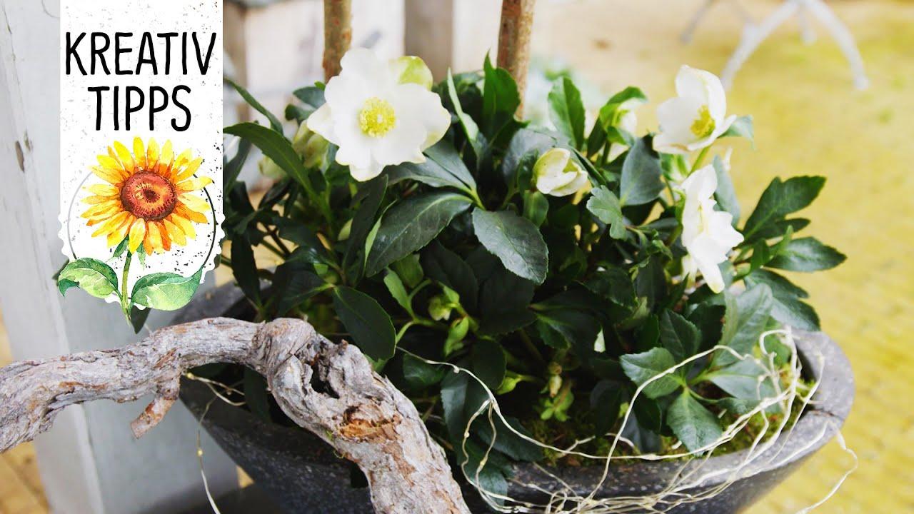 Weihnachtsfloristik und deko mit der christrose wintersun for Deko topfpflanzen