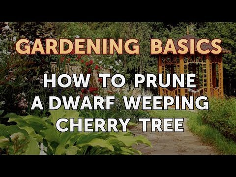 How To Prune A Dwarf Weeping Cherry Tree Youtube
