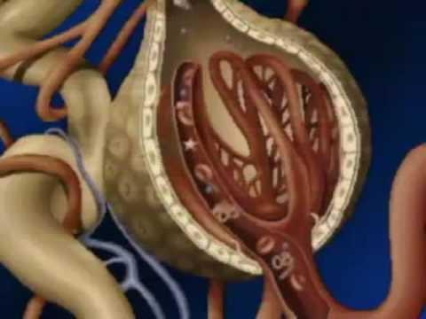 ANATOMIA DEL RIÑON (biología) - YouTube