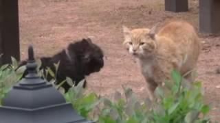 Коты дерутся!