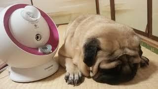 パグ犬ムゥが寝ている横にナノイーを置きました。ムゥちゃんも美肌には...