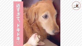 くっつきすぎて眠れない!? 密着する子猫に、ドキドキがとまらないワンコさん💖【PECO TV】 thumbnail