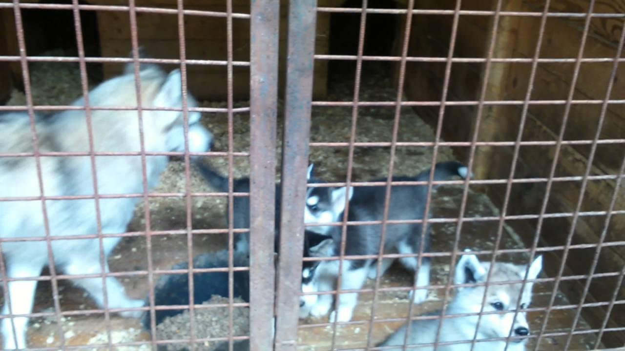 Купить щенка чихуахуа в Москве недорого, РКФ. 8-905-546-66-92 .