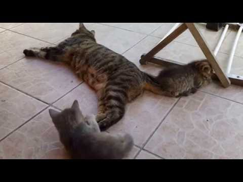 Cute kittens playing with their mum. Cuki cicák játszanak az anyjukkal