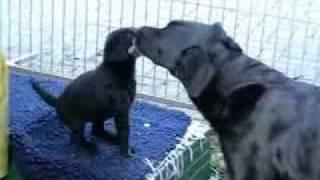 Die Mobile Hunde-waschanlage | Labrador Retriever Welpen