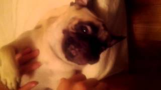 Funny Pug Makes Alien Noises (almost Speaks)
