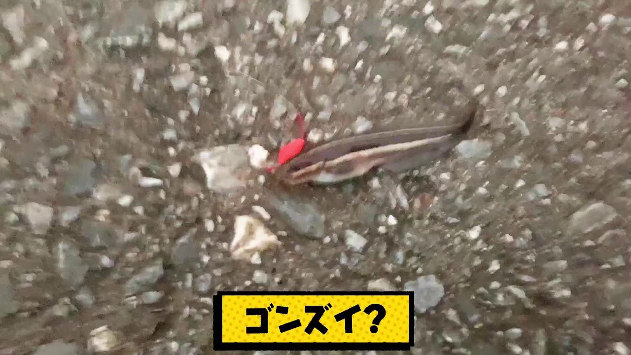 【また毒魚】これ食える?エビ釣りしてたら大量の毒魚がエビを駆逐していた
