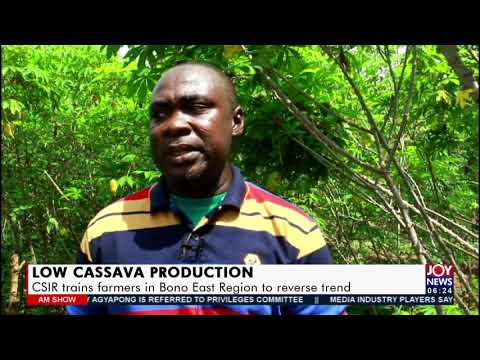Low Cassava Production: CSIR trains farmers in Bono East Region to reverse trend - AM News (16-7-21)