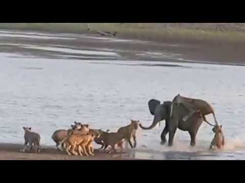 South Luangwa National Park, Zambia - Elephant vs Lions - Time + Tide