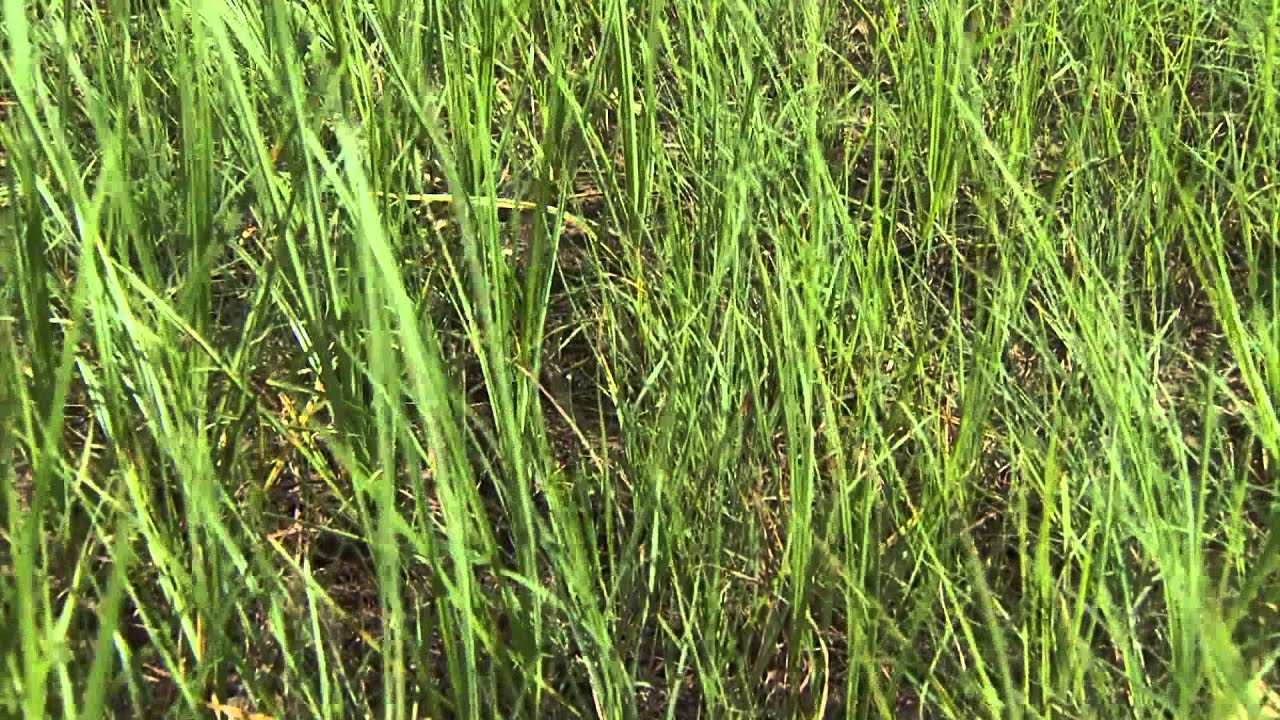 How to get rid of nut grass - Identifying Grassy Weeds Nutsedge
