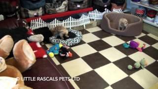 Little Rascals Uk Breeders New Litter Of Cocker Spaniel Puppies - Puppies For Sale UK