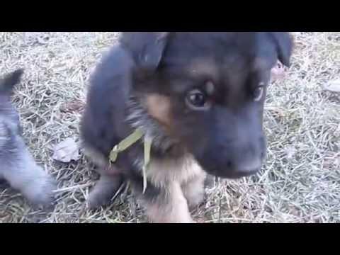 Tiltonhaus German Shepherds Puppies For Sale