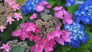ながさき紫陽花祭りの1つの会場である鳴滝町のシーボルト記念館には色...