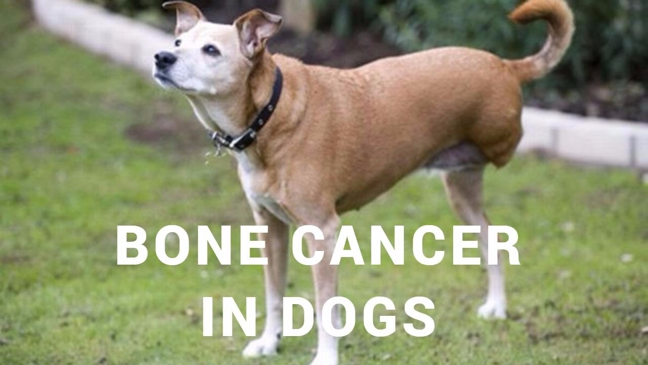 How Long Can A Dog Live With Osteosarcoma