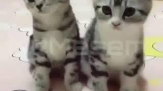 Lagu Entah Apa Yang Merasukimu versi kucing lucu joget