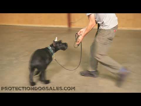 "Giant Schnauzer Puppy 5 Mo's ""Tripp"" Obedience Training Dog For Sale"
