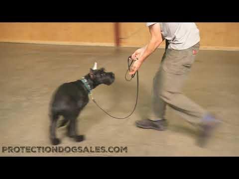 "Giant Schnauzer Puppy 5 Mo's ""Tripp"" Obedience Training Dog For Sale"