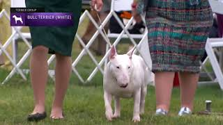 Bull Terriers (White)   Breed Judging 2021