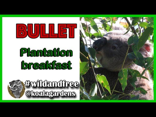 Bullet - plantation breakfast of tallowwood