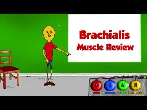 The Brachialis Muscle → Origins, Insertion, Action, And Innervation video || By: Kinesiology Kris
