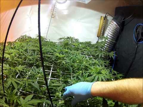 Dutch Passion Think Different SCROG Auto Flower Ebb and Flow Flood Table Medical Marijuana