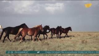 Документальный фильм о лошадях снимут на территории Казахстана