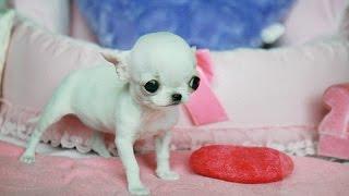 Самая маленькая собака в мире! - Все обо всем - Scishow на русском