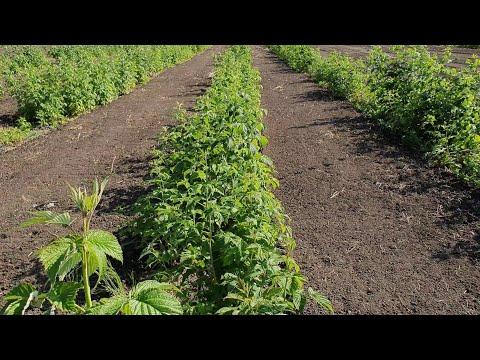Наши основные сорта ремонтантной малины. Химбо топ,  Карамелька, Зюгана, Квелли, Энросадира и тд | васильева | кузьмина | татьяна | новость | растет | посадк | огород | малины | малина | киржач