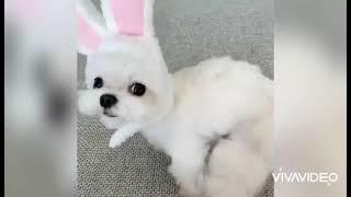 maltese puppies video compilation