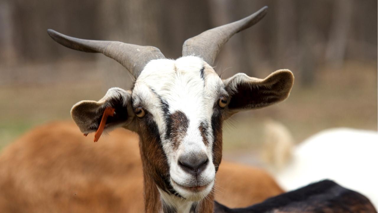 What Are Kiko Goats?