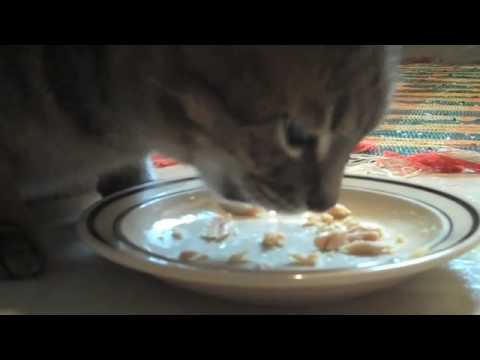 Cat Eating Canned Tuna