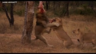 Lions Food Fight