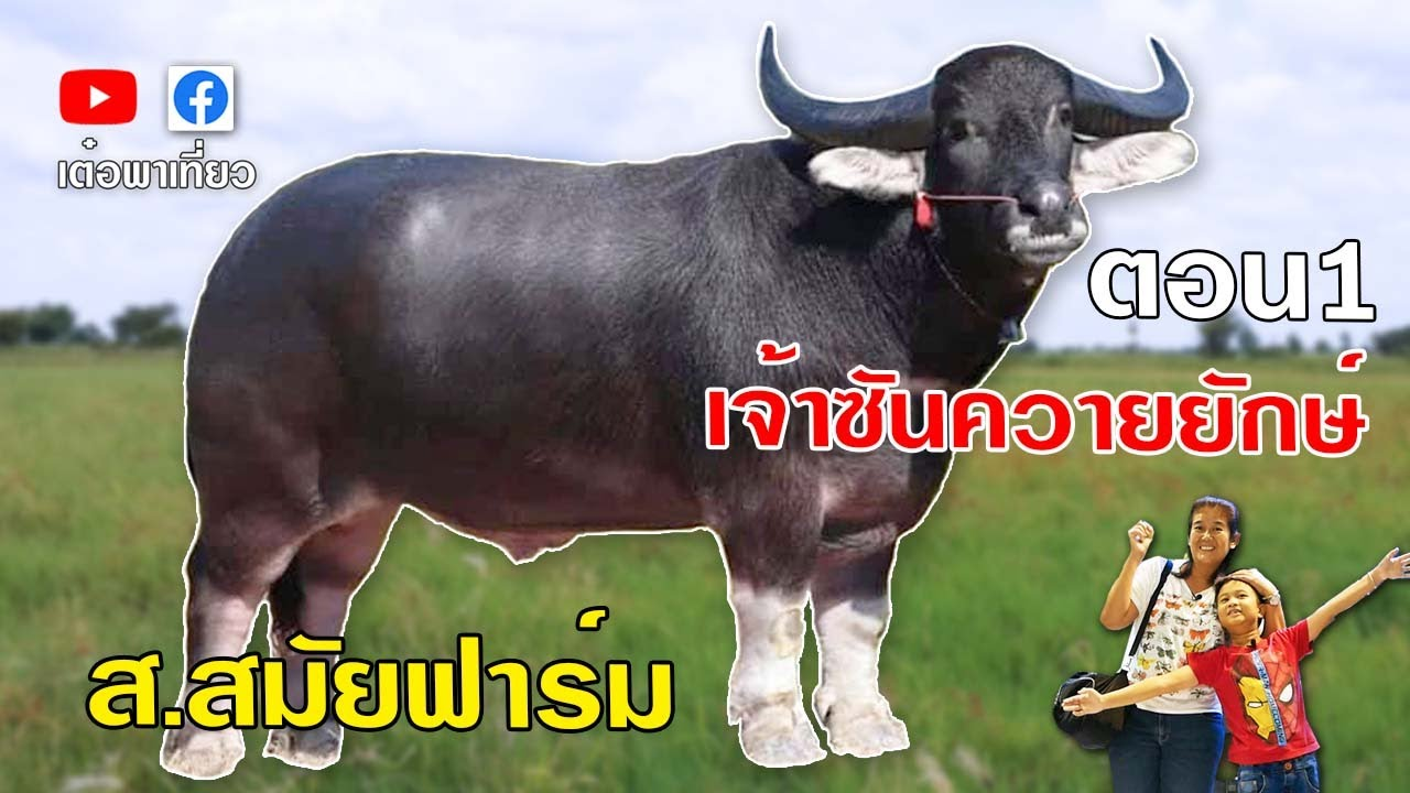 buffalo beautiful เลี้ยงควายไทยควายงาม เจ้าซันควายยักษ์ เสี่ยไข หมอวสันต์  ส.สมัยฟาร์ม เต๋อพาเที่ยว - YouTube